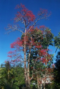 Alkina Flame Tree (6)