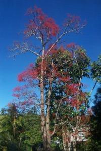 Alkina Flame Tree (6)