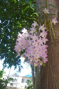 Orchid on Flame Tree