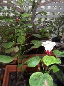 Rosella Flower 01
