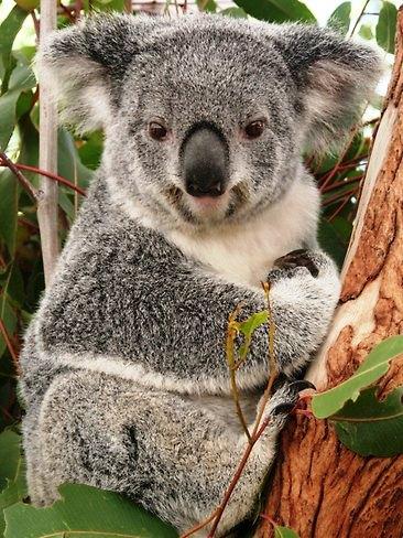 Violet Koala