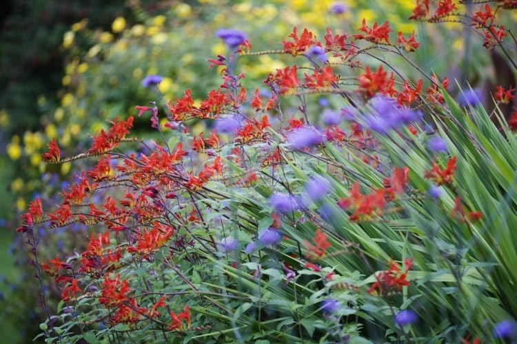 Flower Crocosmia