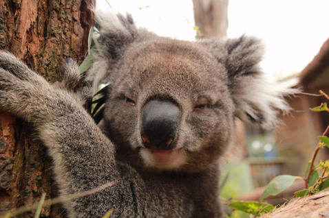 Adopt a Koala today!
