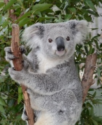 Koala Adoption Certificate (5)