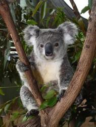 Koala Adoption Certificate (8)
