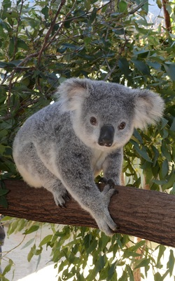 Koala Adoption Certificate (9)