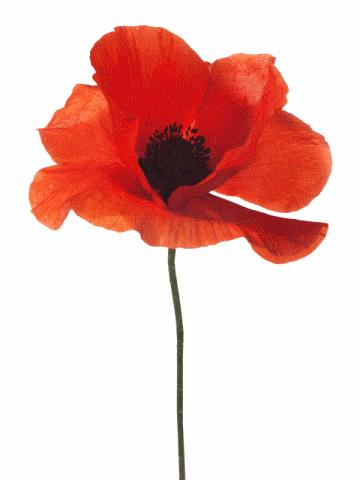 ANZAC Day Poppy