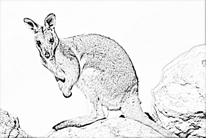 Wallaby 01