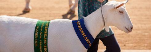 Ekka Dairy Goat Winner