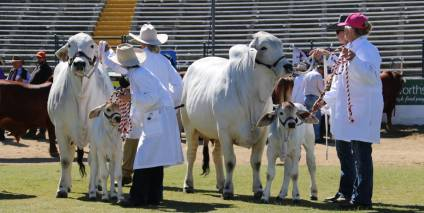 Ekka Santa Gertrudis Cattle