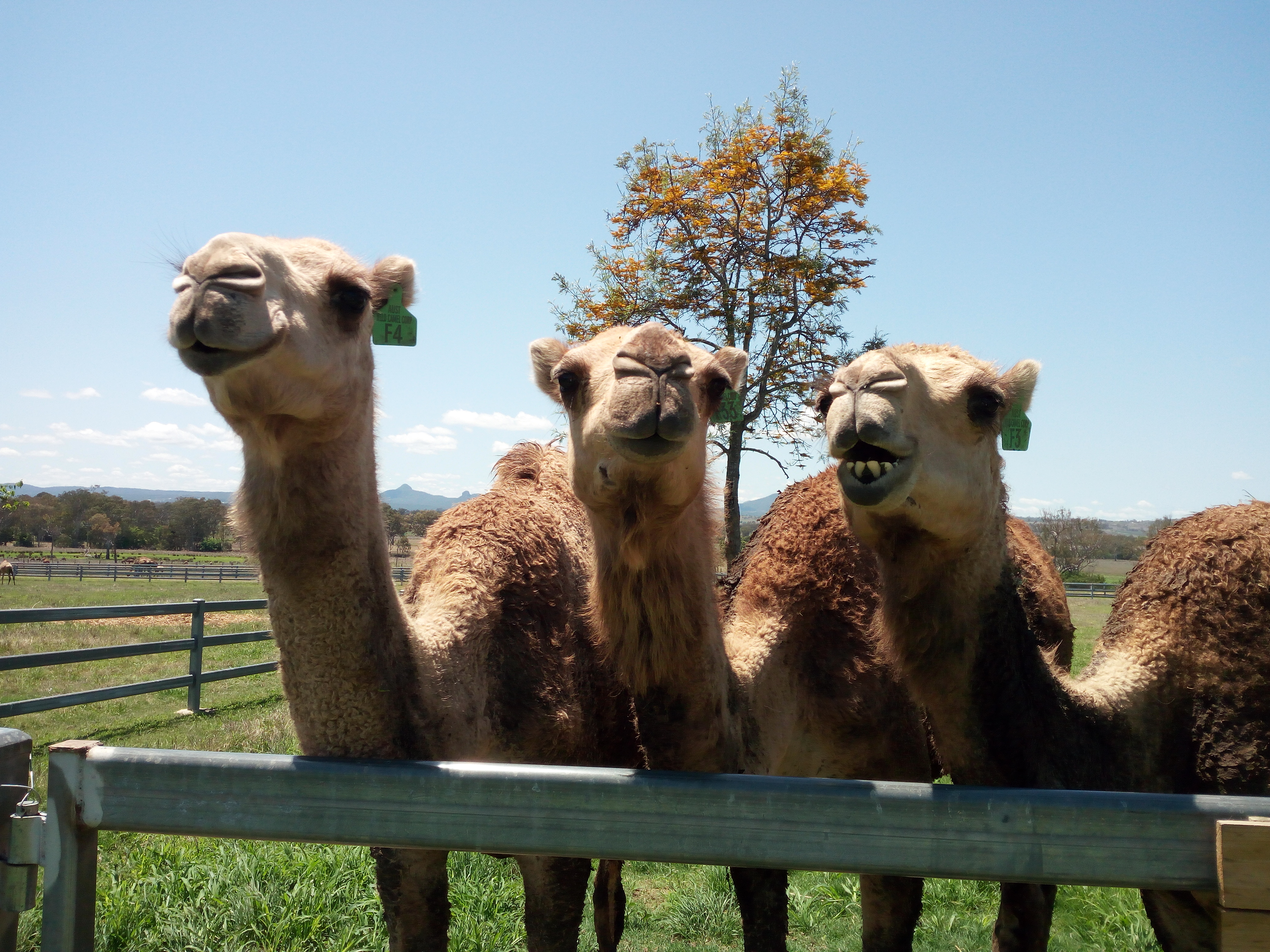 Camel Milk Coffee At Summer Land Camel Farm Thoughts Become Words