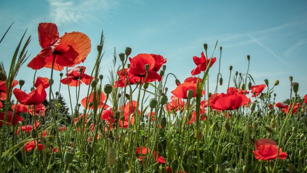 Remembrance Day Poppies in Field