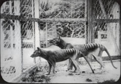 Tasmanian Tigers in Hobart Zoo
