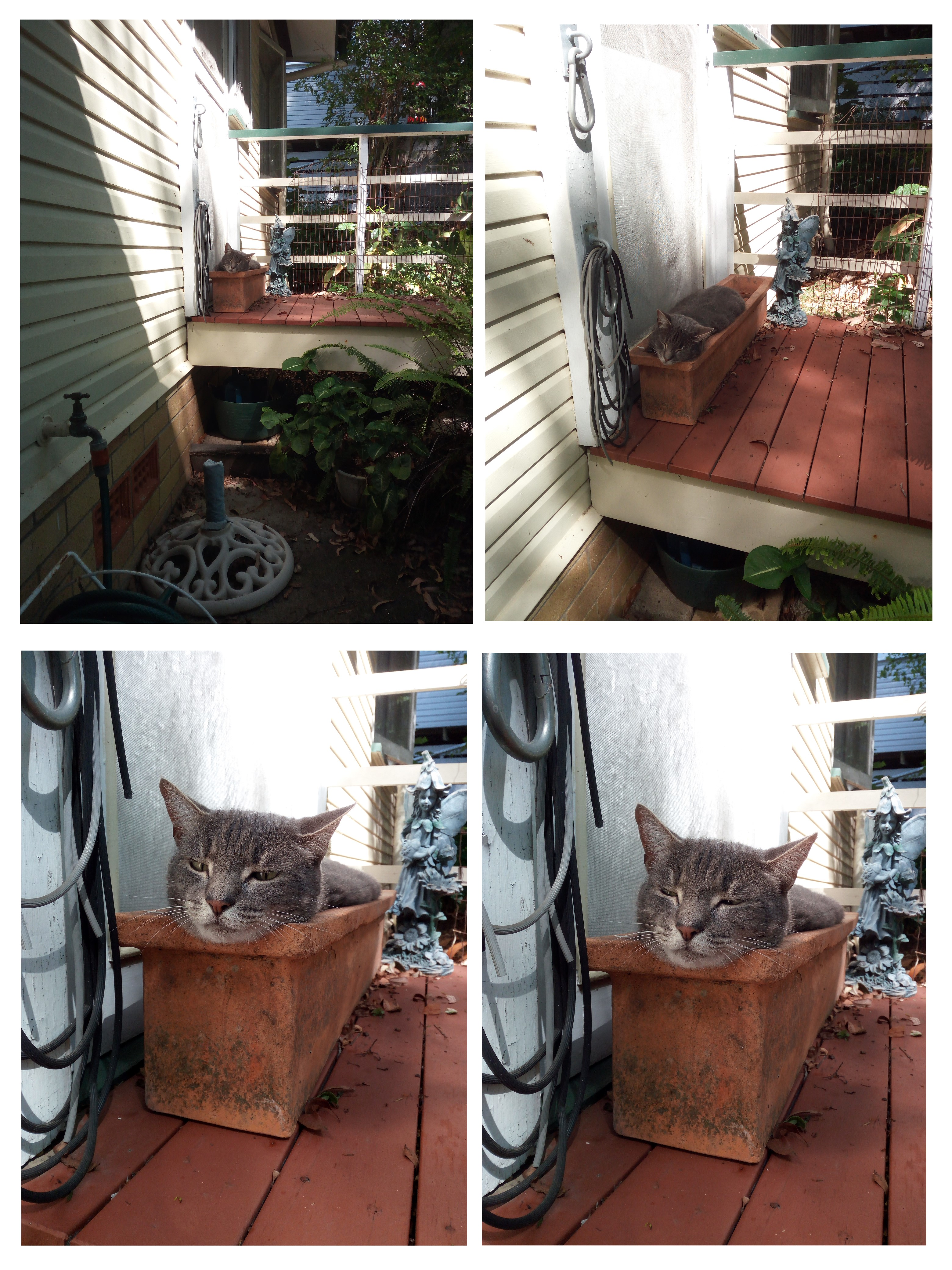 JoJo Cat Asleep In Planter Box Jan2021
